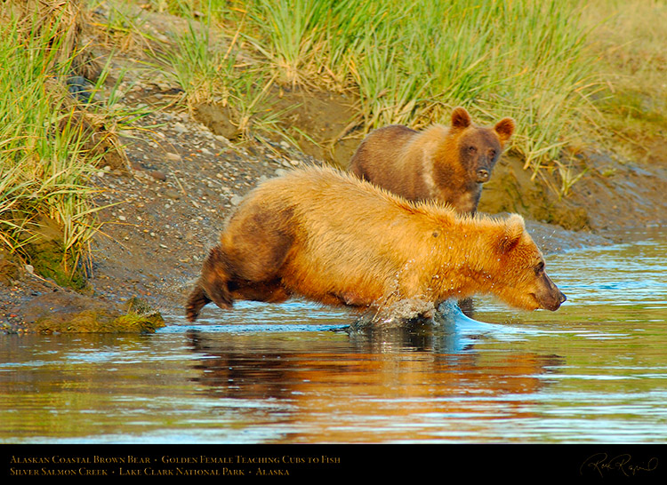 BrownBear_GoldenFemale_TeachingCubs_X3149