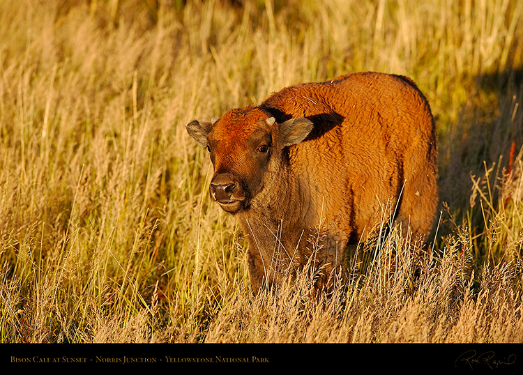 BisonCalf_atSunset_NorrisJunction_9851