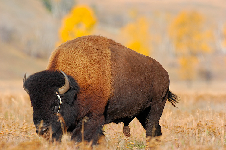 Bison_LamarValley_8482