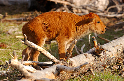 Bison_NewbornCalf_7170