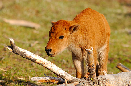 Bison_NewbornCalf_7199