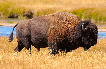 Bison_NezPerceCreek_9510
