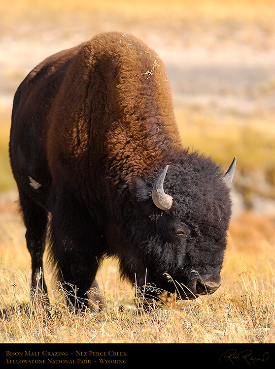 Bison_NezPerceCreek_9626
