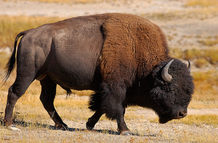 Bison_NezPerceCreek_9629