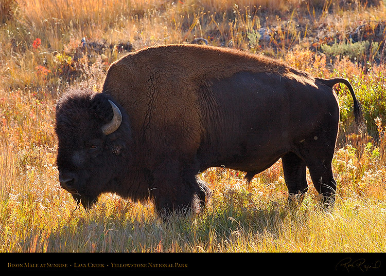Bison_atSunrise_LavaCreek_9872