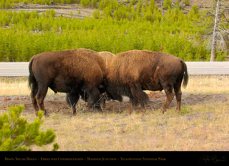 BisonConfrontation_MadisonJunction_0879