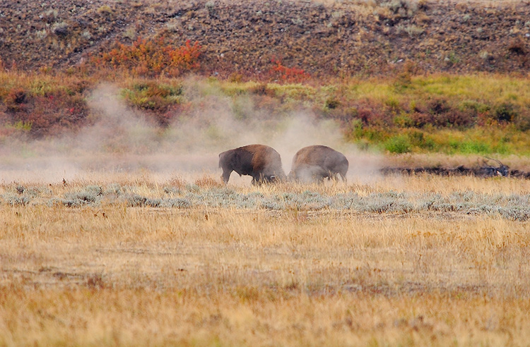 BisonFight_LamarValley_8850