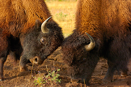 BisonFight_MadisonJunction_0965