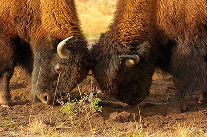BisonFight_MadisonJunction_0971