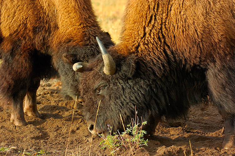 BisonFight_MadisonJunction_0972