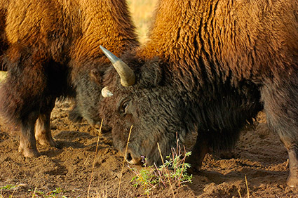 BisonFight_MadisonJunction_0973