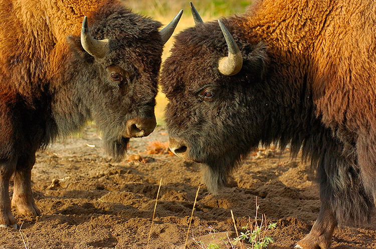 BisonFight_MadisonJunction_0986