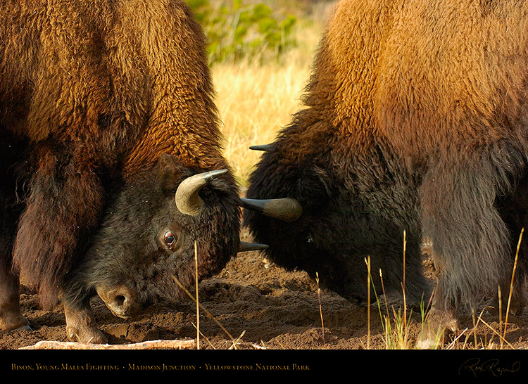 BisonFight_MadisonJunction_1003