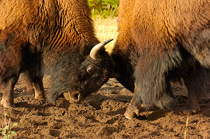 BisonFight_MadisonJunction_1042