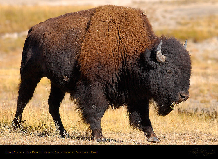 Bison_NezPerceCreek_9657
