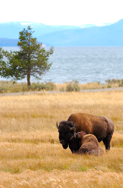 Bison_YellowstoneLake_8660