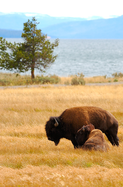 Bison_YellowstoneLake_8661