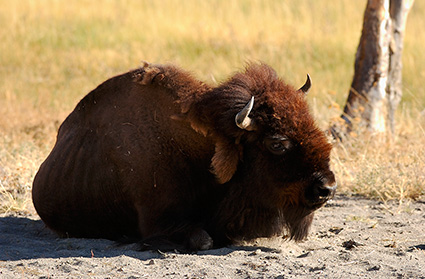 Bison_atRest_FireholeRiver_9091