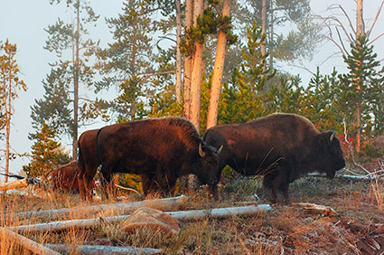 Bison_atSunrise_MadisonJunction_0311