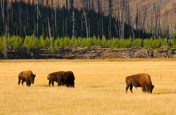 Bison_atSunrise_MadisonJunction_1276