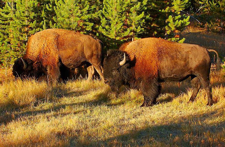 Bison_atSunrise_NorrisJunction_1260