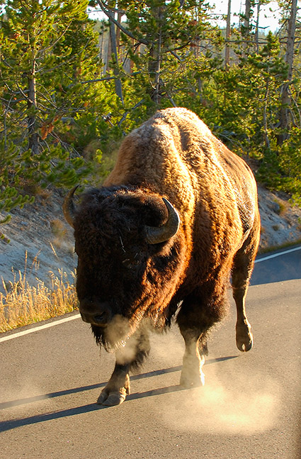 Bison_in_theRoad_atSunrise_1238