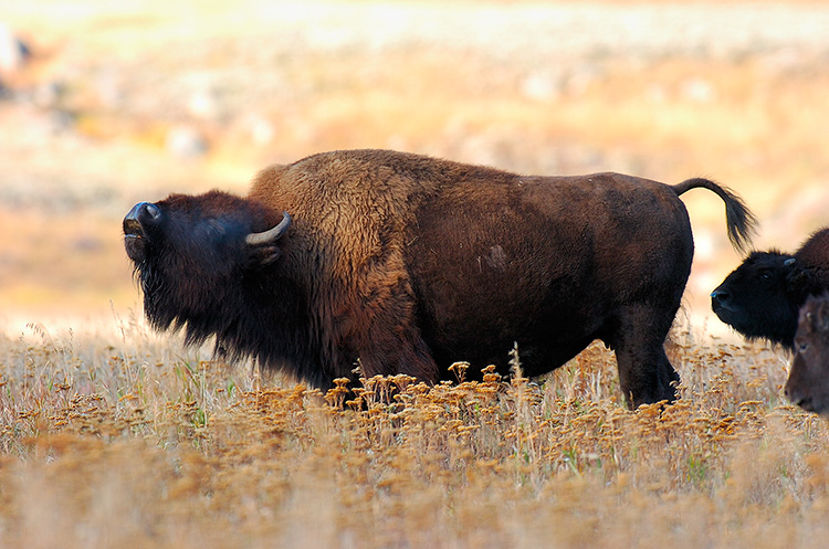 BisonBellow_LamarValley_8467