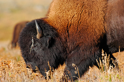 BisonCloseup_LamarValley_8484