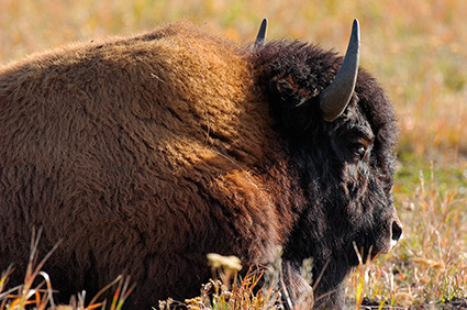 BisonCloseup_LamarValley_8500
