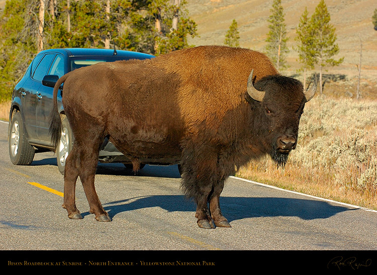 BisonRoadblock_atSunrise_NorthEntrance_0278
