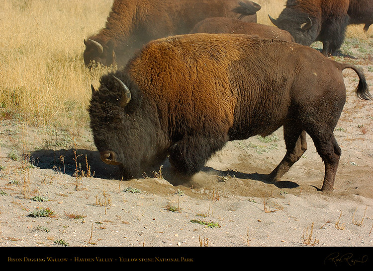 Bison_DiggingWallow_HaydenValley_0465