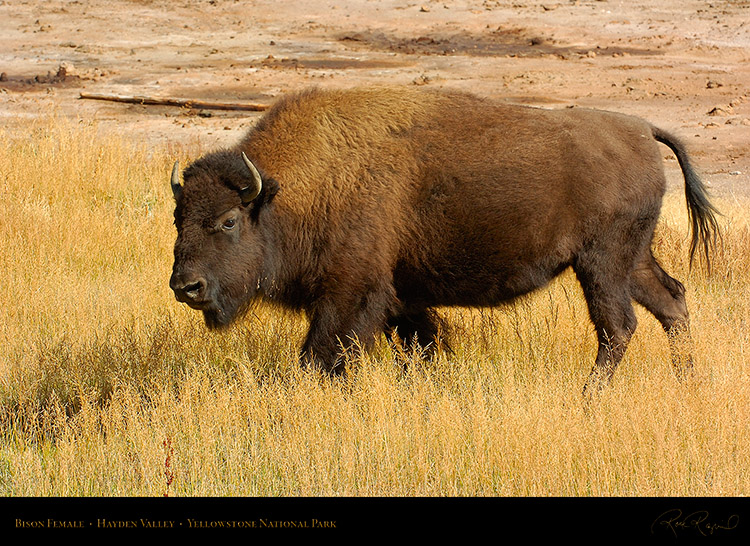 Bison_Female_HaydenValley_0476