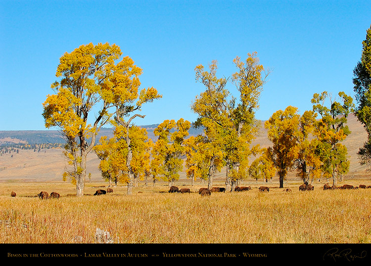 Bison_LamarValley_0509