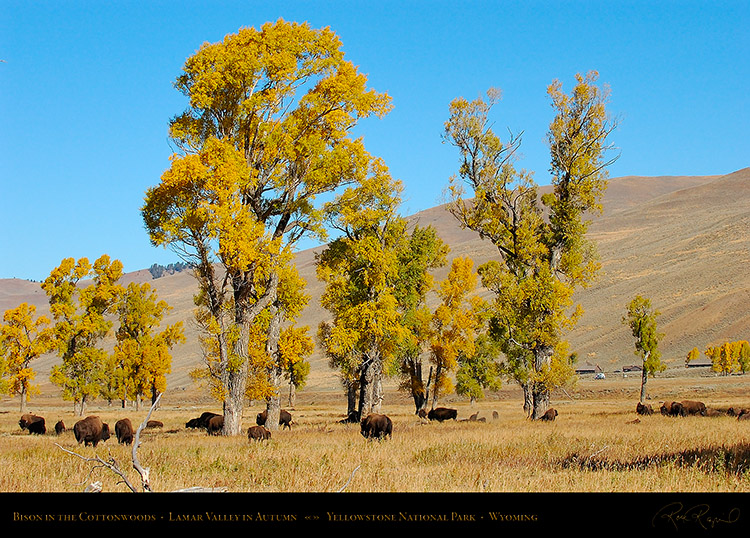 Bison_LamarValley_0521