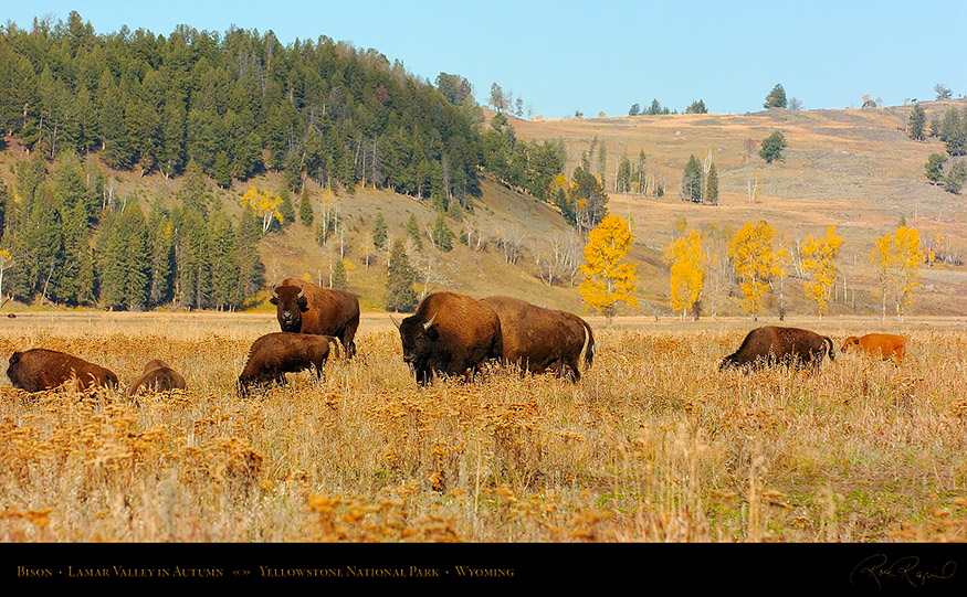 Bison_LamarValley_0707_16x9