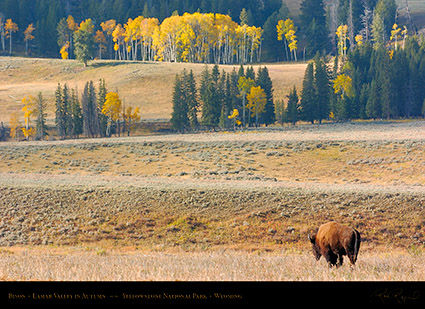 Bison_LamarValley_0716