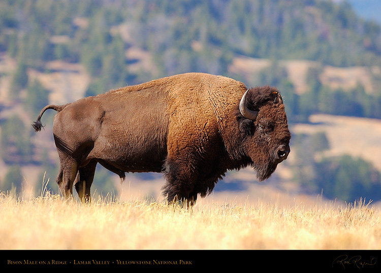 Bison_LamarValley_0866