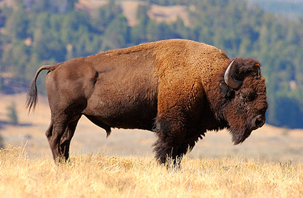 Bison_LamarValley_0873