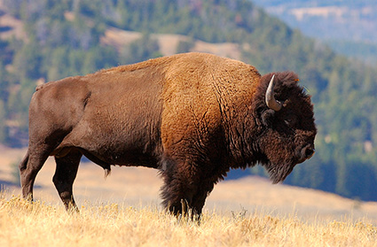 Bison_LamarValley_0877