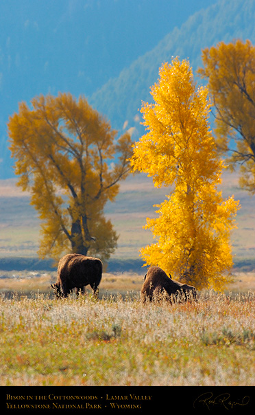 Bison_LamarValley_8520