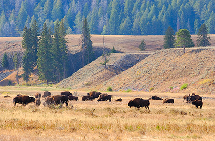 Bison_LamarValley_8868