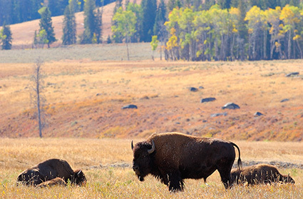 Bison_LamarValley_9888