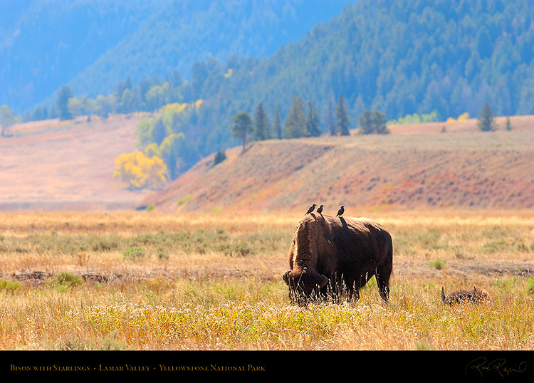 Bison_LamarValley_9890