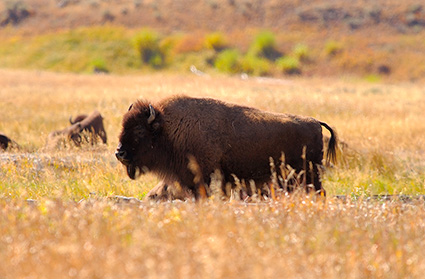 Bison_LamarValley_9909