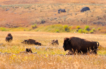Bison_LamarValley_9913