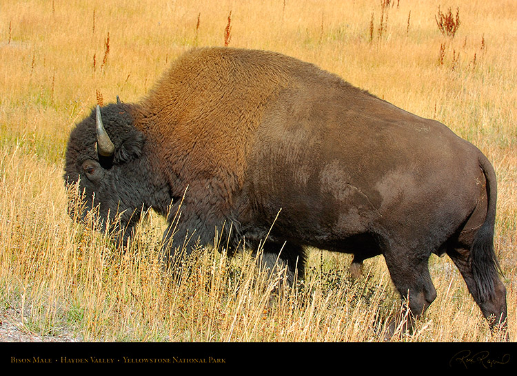 Bison_Male_HaydenValley_0506
