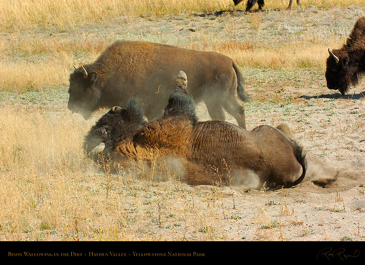 Bison_Wallow_HaydenValley_0478