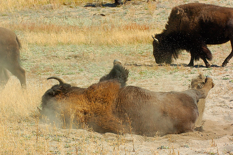 Bison_Wallow_HaydenValley_0483