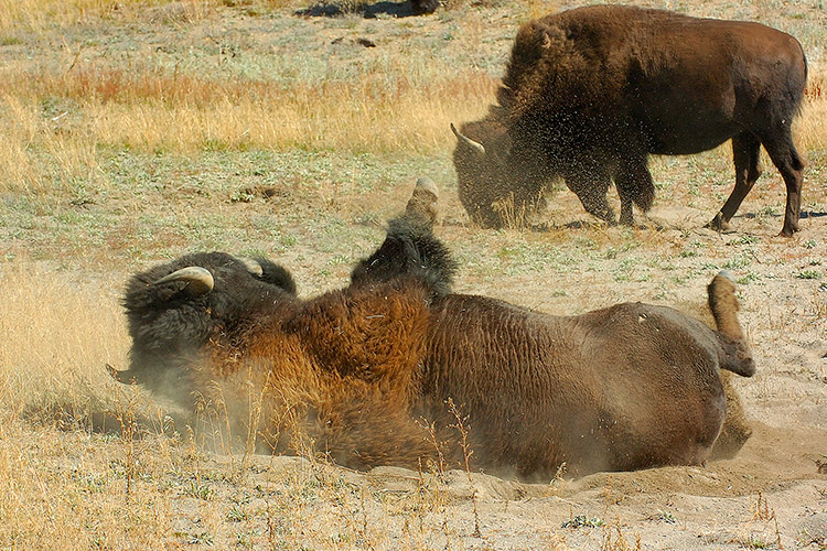 Bison_Wallow_HaydenValley_0484