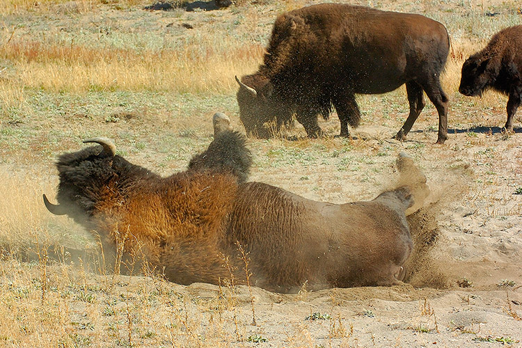 Bison_Wallow_HaydenValley_0485